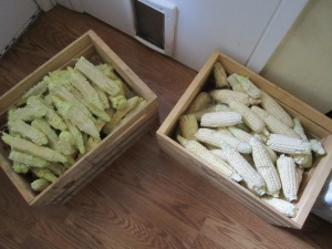 "Cobs from ""okays"" on left, rejects on right."